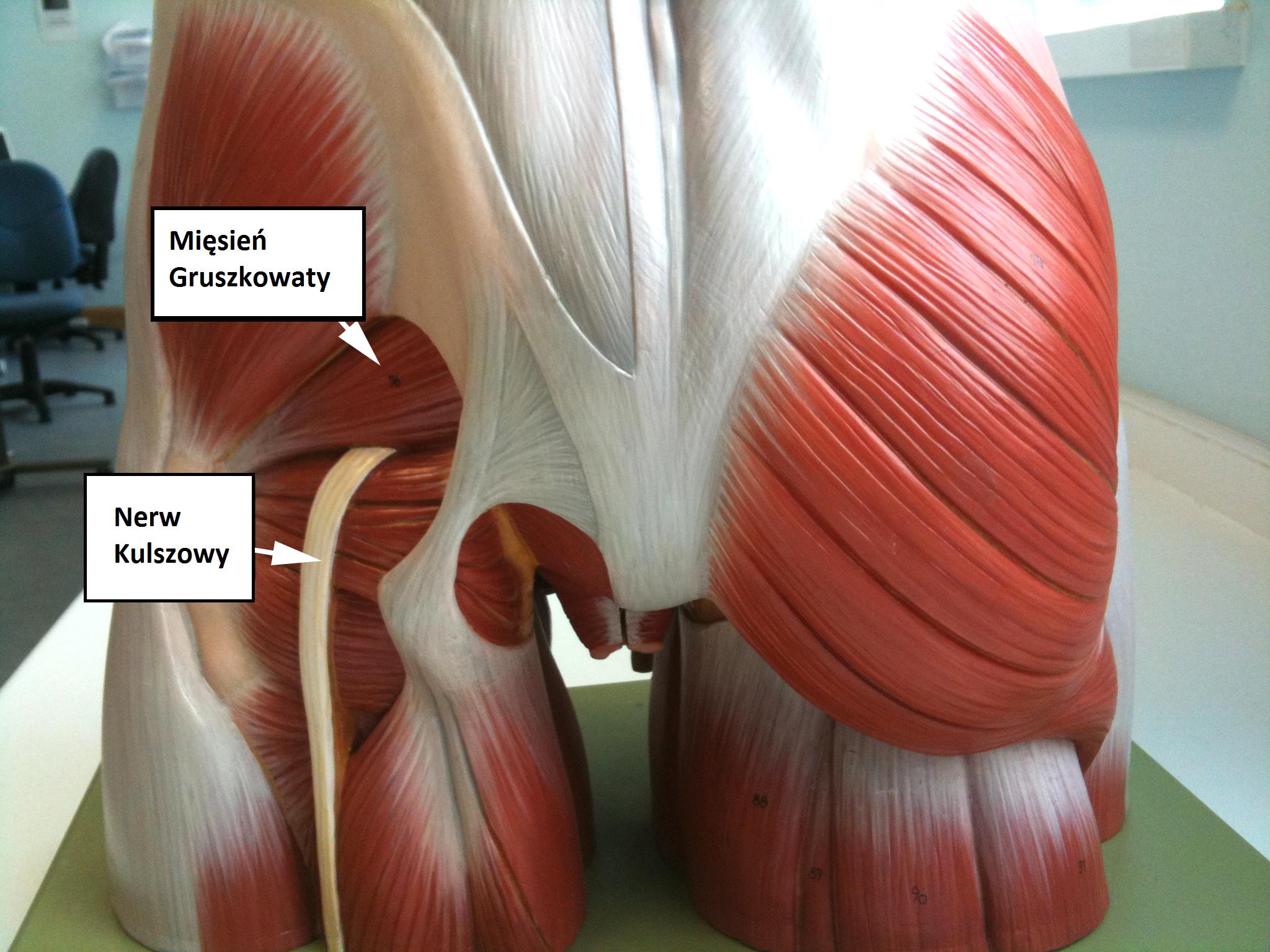 Nerw kulszowy