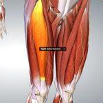 Mięsień czworogłowy - prostownik kolana