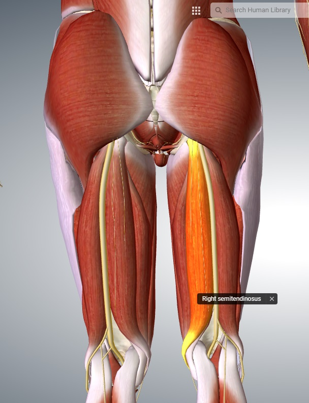Grupa kulszowo-goleniowa - zginacze stawu kolanowego