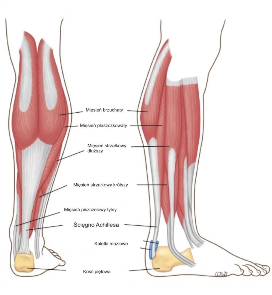 Łydka anatomia
